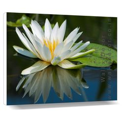 Lotus in a Pond - Canvas Art - 14 x 18 inch