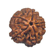 Five Mukhi Rudraksha Bead - Nepal, regular