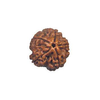 Five Mukhi Rudraksha Bead - Nepal, regular