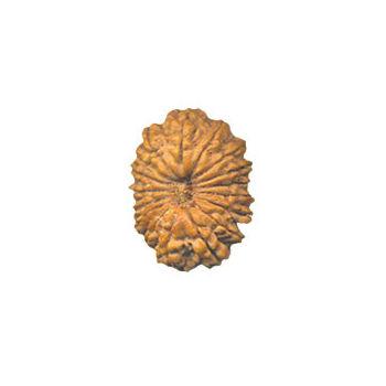 Seventeen Mukhi Rudraksha Bead - Nepal, regular