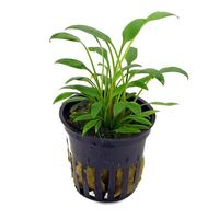 Cryptocoryne willisii - Live Aquarium Plants, 1 pack