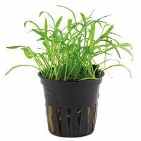 Lilaeopsis brasiliensis - Live Aquarium Plants, 1 pack