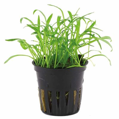 Tissue culture Lilaeopsis brasiliensis Live Aquarium Plants, 1 pack