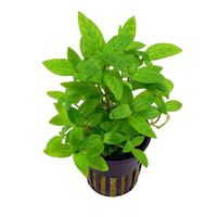 Staurogyne repens - Live Aquarium Plant, 10 packs