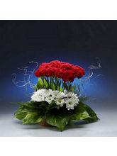 BAF Crimson Gift, Free Shipping