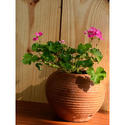 MUD FINGERS Geranium in Terracotta Pot