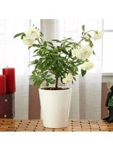 Ferns N Petals Mothers Day Potted White Rose Plant...