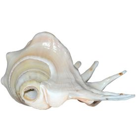 Natural Gaumukhi Shankh Cow Conch Real Gaumukh Shankh