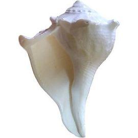 Dakshinavarti Shankh / Right Handed Conch Shell / laxmi Shankh / Valampuri Shankh